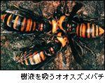 樹液を吸うオオスズメバチ