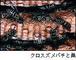 クロスズメバチと巣