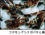 フタモンアシナガバチと巣