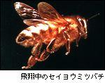 飛翔中のセイヨウミツバチ