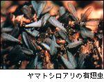 イエシロアリ・兵蟻