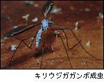 キリウジガガンボ成虫