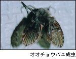オオチョウバエ成虫