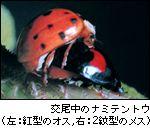 交尾中のナミテントウ