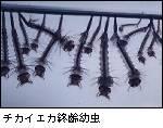 チカイエカの幼虫