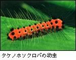 タケノホソクロバの幼虫