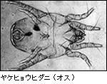ヤケヒョウダニ(オス)