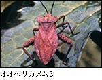 オオヘリカメムシ