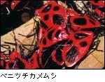 ベニツチカメムシ
