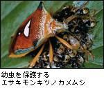 エサキモンキツノカメムシ