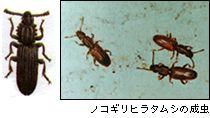 ノコギリヒラタムシの成虫