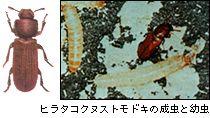 ヒラタコクヌストモドキの成虫と幼虫