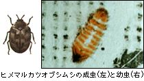 ヒメマルカツオブシムシの成虫と幼虫