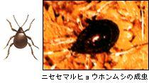 ニセセマルヒョウホンムシの成虫